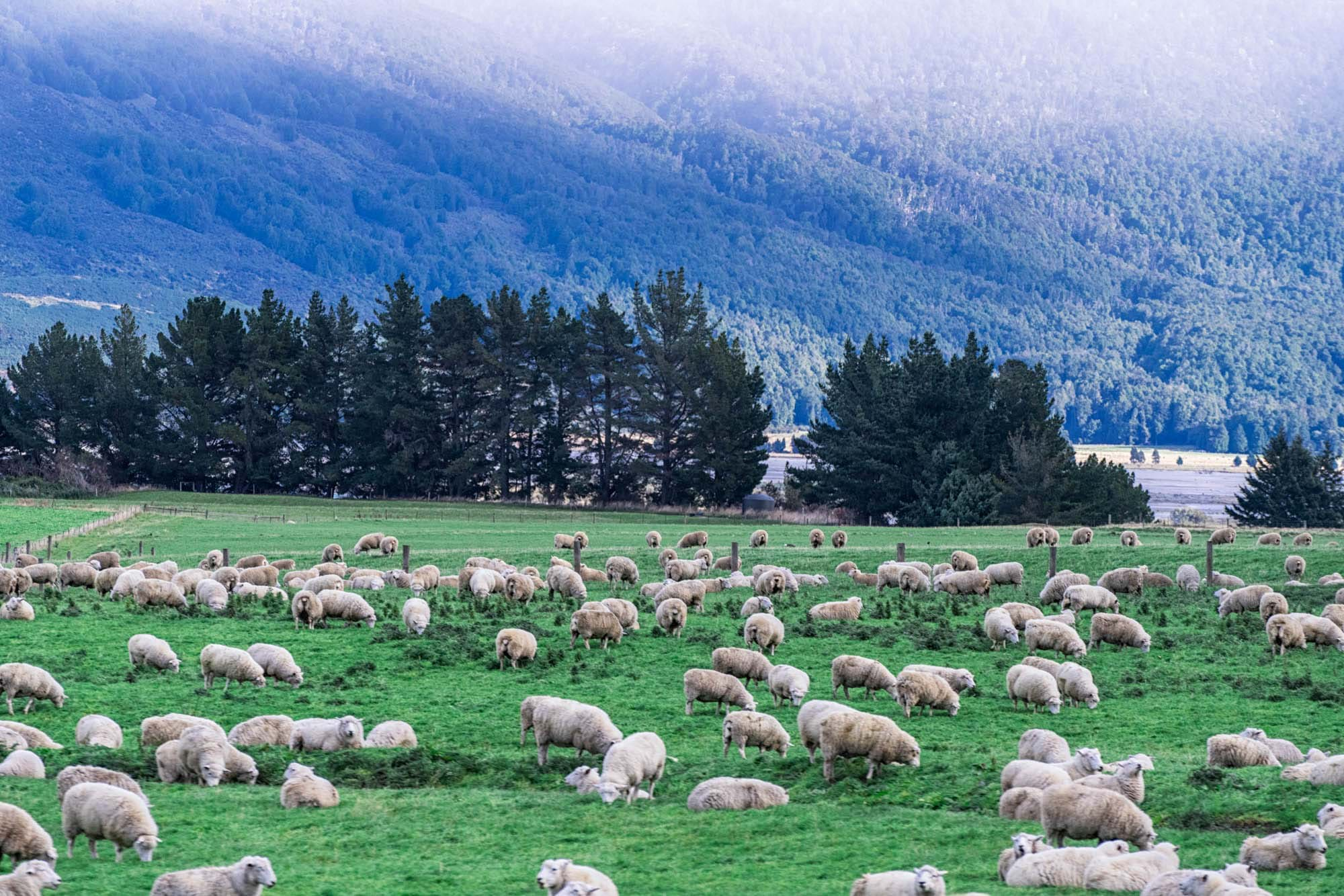 Sheep in Glenorchy